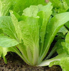 Chinese Cabbage Solan Seeds - The Seed Store
