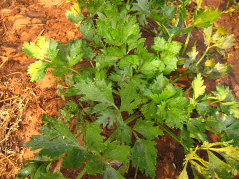 Celery Herb (Cutting) Seeds