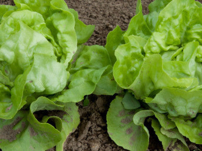 Lettuce Little Gem Seeds - The Seed Store - 1