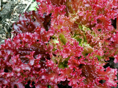 Lettuce Lollo Rossa Seeds - OG - The Seed Store - 1