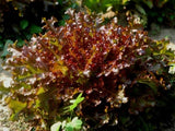Lettuce Red Salad Bowl Seeds - The Seed Store - 1