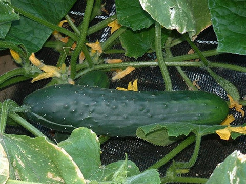 Cucumber Marketmore Seeds - OG - The Seed Store - 2