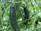 Cucumber Marketmore Seeds - OG - The Seed Store - 1