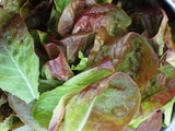 Lettuce Marvel of Four Seasons Seeds - OG - The Seed Store - 4
