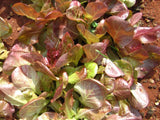 Lettuce Marvel of Four Seasons Seeds - OG - The Seed Store - 2