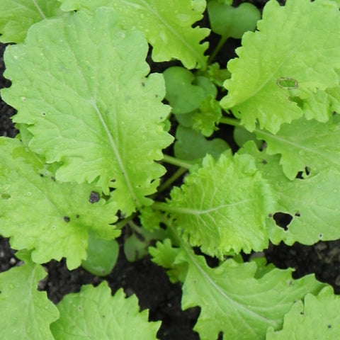Mustard Greens Giant Curled Seeds - OG - The Seed Store - 1
