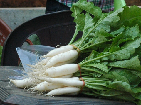 Radish Pusa Himani (White Long) Seeds - The Seed Store - 1
