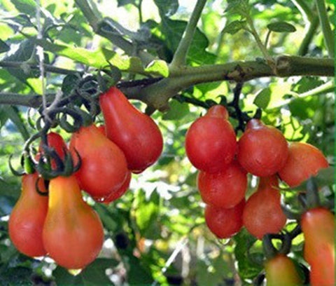 Cherry Tomato Red Pear Seeds - The Seed Store