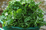 Arugula or Rocket/Roquette Seeds - OG - The Seed Store - 2