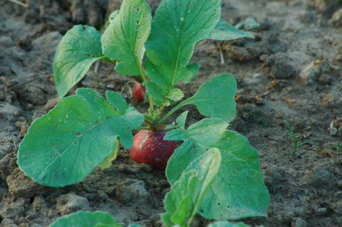 Radish Early Scarlet Globe Seeds - OG - The Seed Store - 2