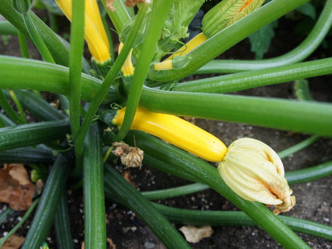 Zucchini Golden Seeds - The Seed Store - 1