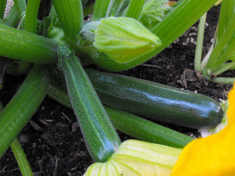 Zucchini Black Beauty Seeds - OG - The Seed Store - 1