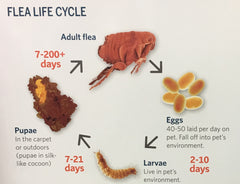 The flea cycle - Flea Allergy Dermatitis
