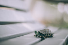 The story of a little red-eared turtle