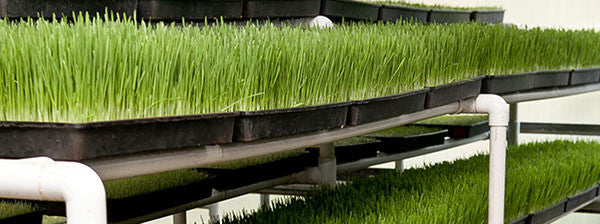 Hippocrates health Institute wheatgrass