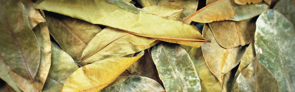 Graviola leaves for tea, soursop leaves for tea - www.graviolateacompany.com
