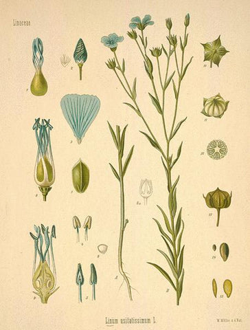 Linum usitatissimum (Botanical Illustration) - Wholesome Linen