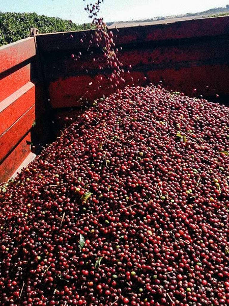 Coffee beans in Brazil