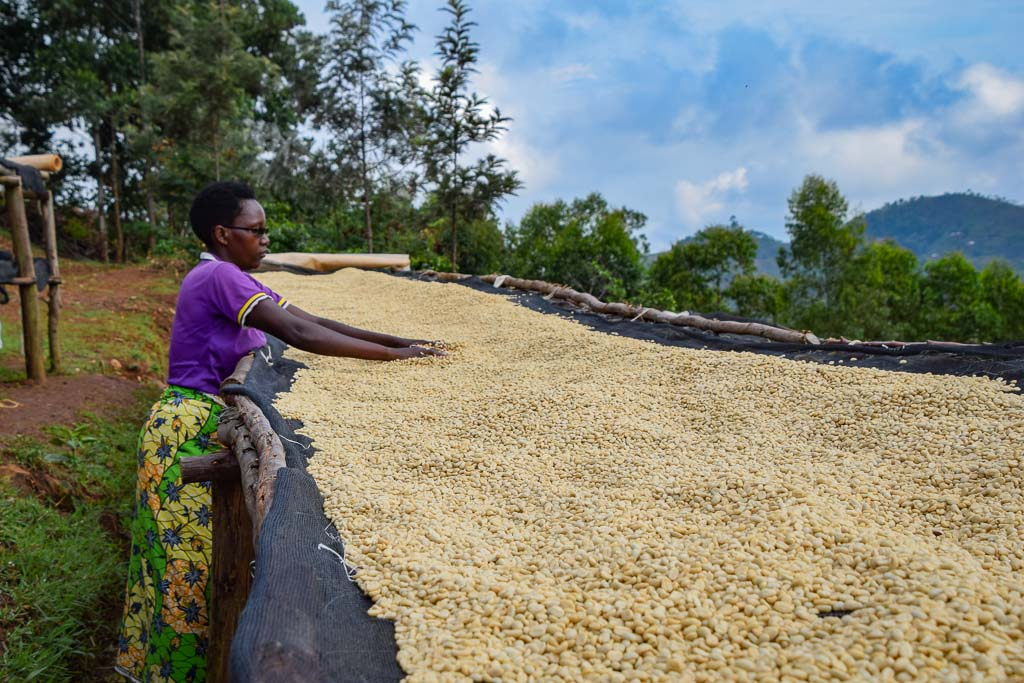 Burundi coffee drying on tables