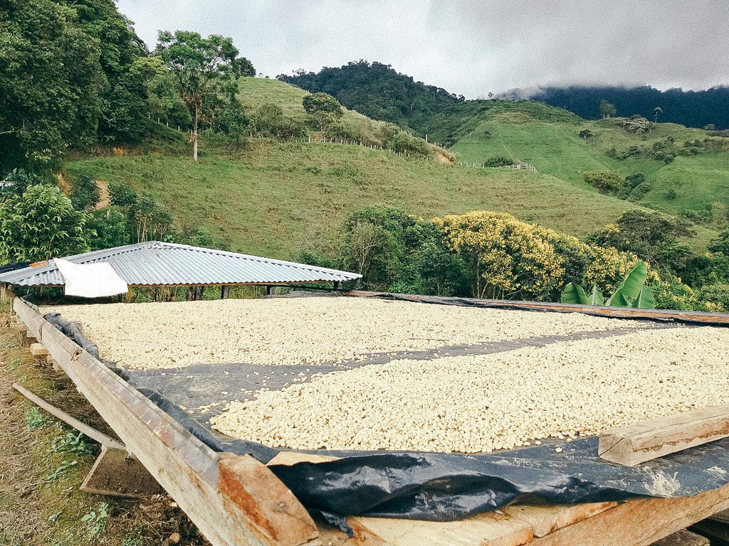 Organic coffee drying on raised tables