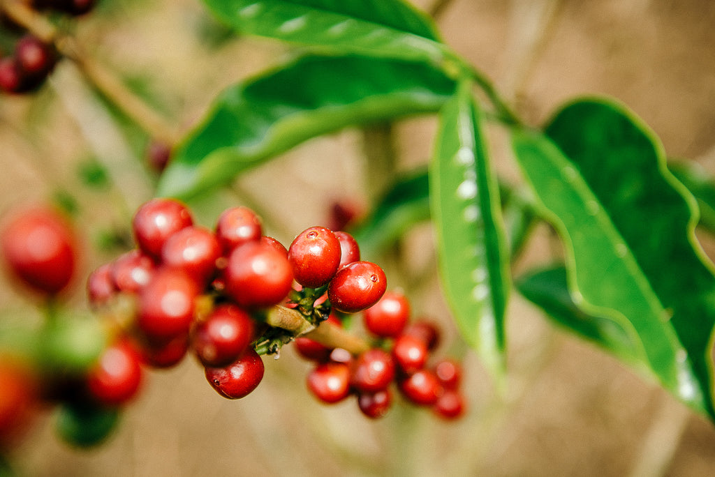 Colombia coffee beans on trees