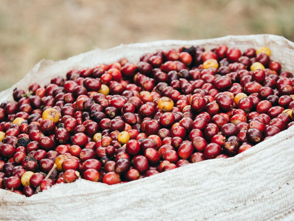 Fresh coffee cherry