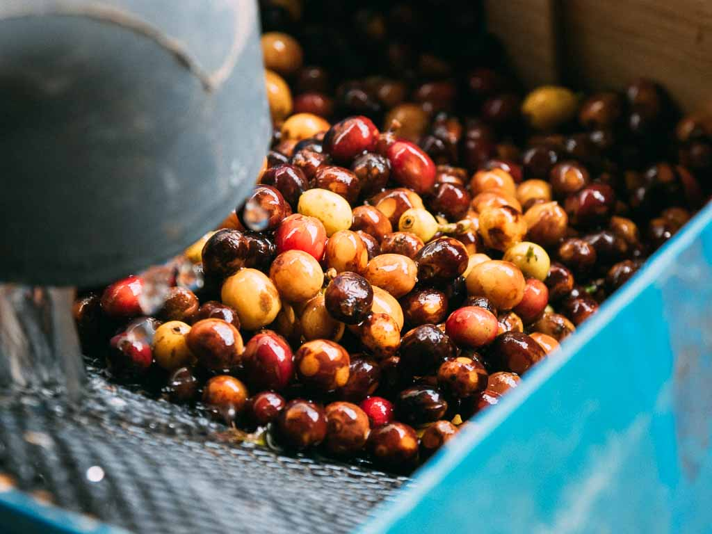 Costa Rica coffee cherry