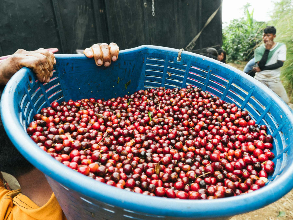 Freshly harvested coffee cherry at San Juanillo Costa Rica