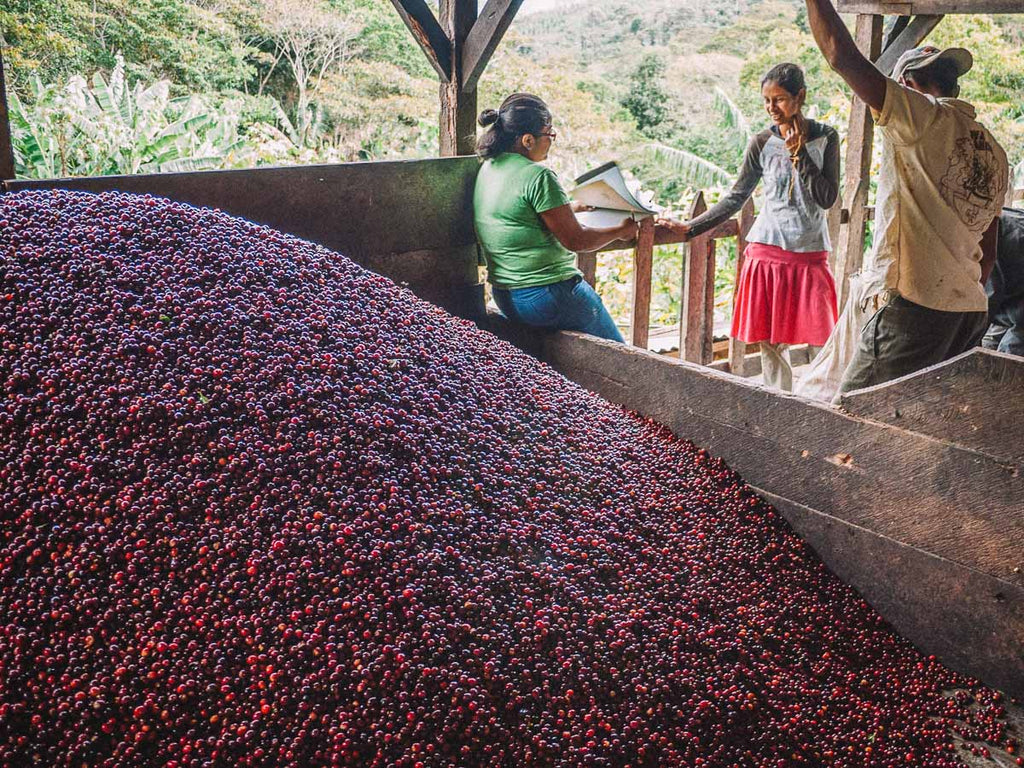 Nicaraguan coffee cherry ready for processing