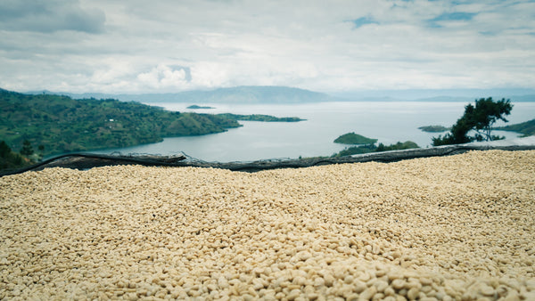 Coffee drying on tables at Gishyita washing station