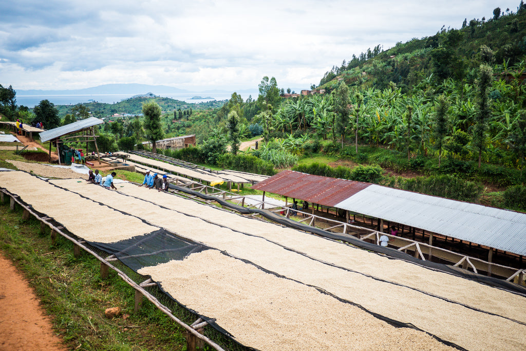 Washed coffee on raised tables in Rwanda