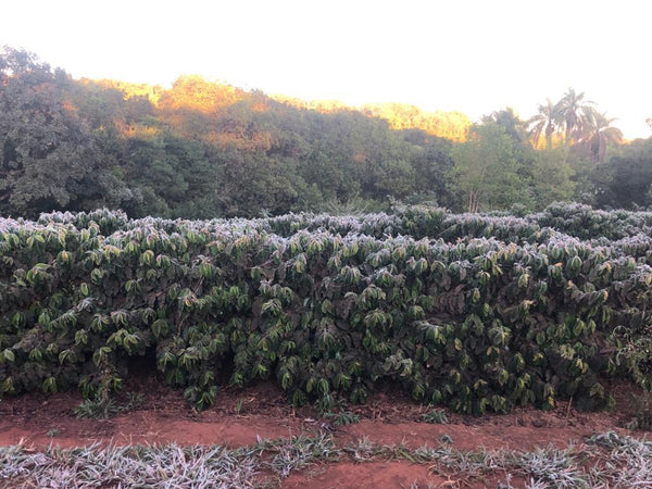 Brazilian coffee production affected by frost