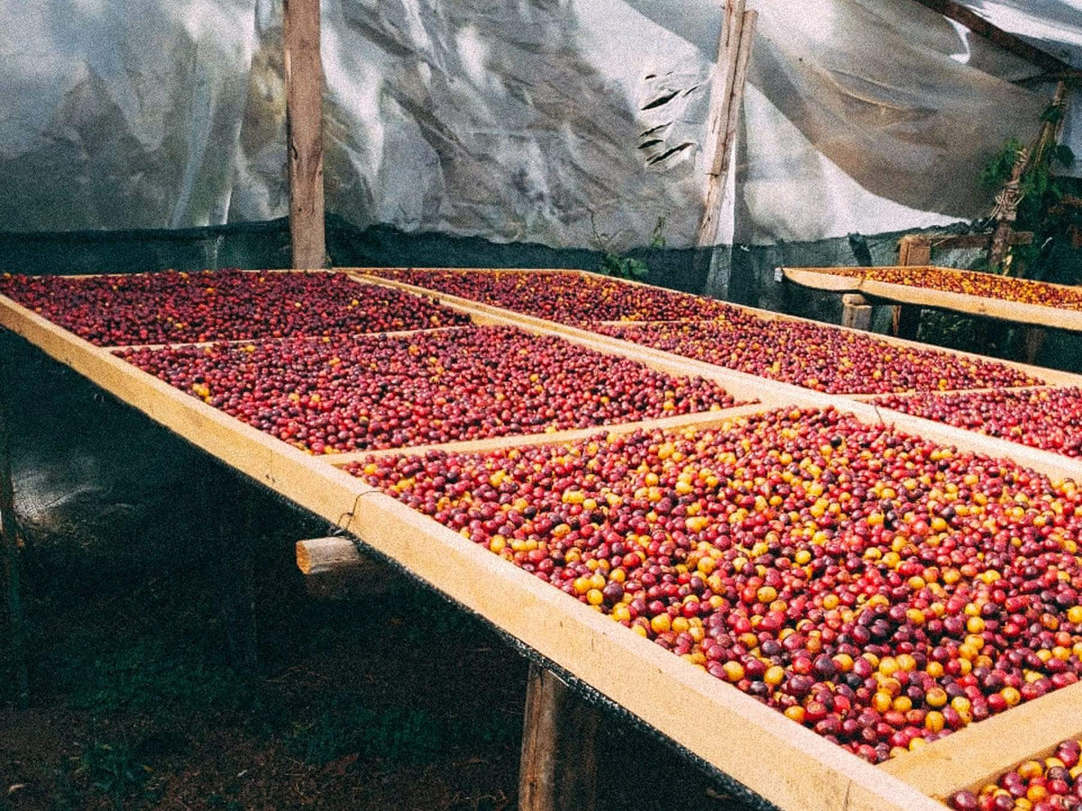 Coffee cherry drying in Costa Rica