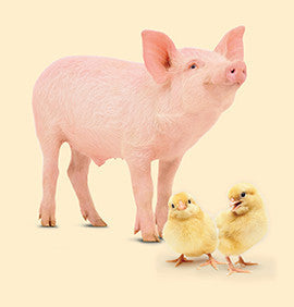 Piglets + chicks