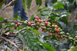 100% Bolivian Fair Trade Organic (FTO) Cascara Tea