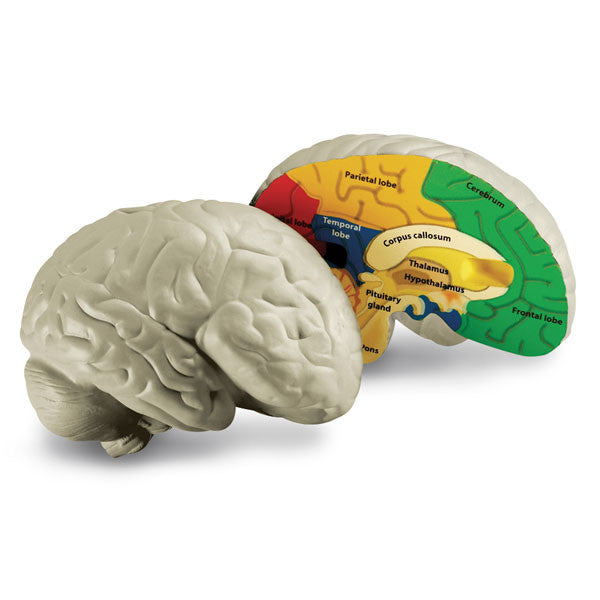 Brain Cross-Section Model - The Science Shop