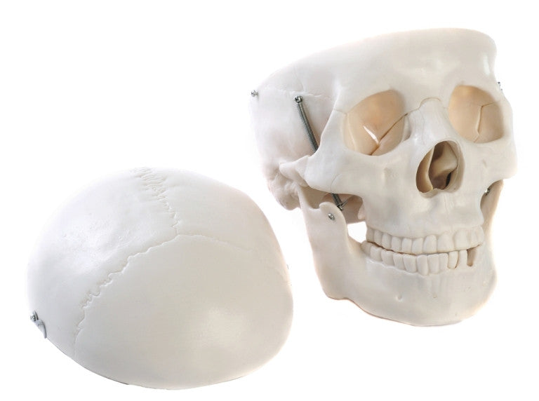 Plastic Skull Model - The Science Shop
