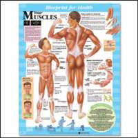 YOUR MUSCLES CHART - The Science Shop