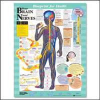 YOUR BRAIN AND NERVES CHART - The Science Shop