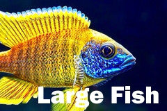 African Cichlid for sale Large Fish