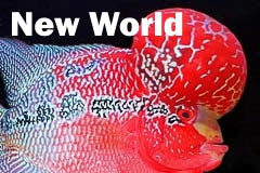 New World Cichlid Flowerhorn for sale