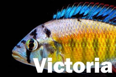 Lake Victoria african cichlids for sale.