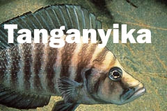 Tanganyika african cichlid for sale