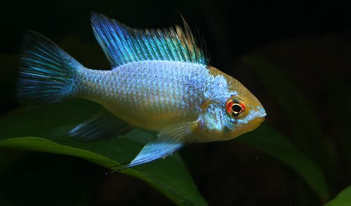 Electric Blue Ram, Mikrogeophagus ramirezi, New World Cichlid