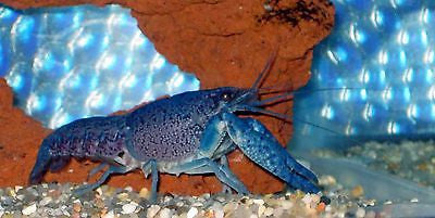 Male Electric Blue Crayfish (Lobster) 4.0 inch Live fish