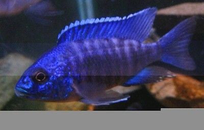 Regal Peacock  Aulonocara African Cichlid Live fish