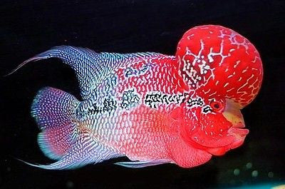 Red Dragon Flowerhorn cichlid 1.25 inches Live Fish Fully Guaranteed