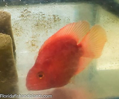 KING KONG Parrot approximately 2.25-2.5 inch. New World Cichlid