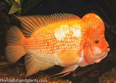 Amphilophus labiatus, Red Devil cichlid, 1.25-2.0 inch New World Cichlid