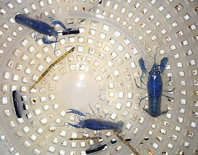 Electric Blue Crayfish (Lobster) 1.25-2.0  inch Live fish